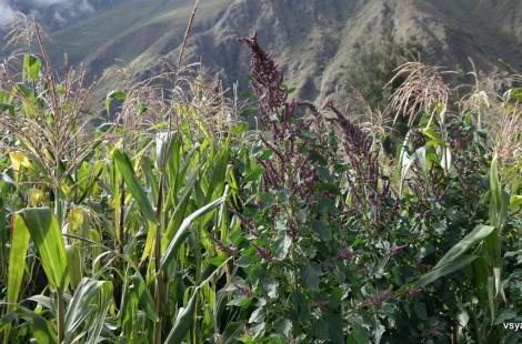 Так растет киноа в горах в окрестностях Ольянтайтамбо, Перу