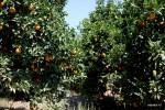Апельсиновая роща винодельни Nostos, Крит