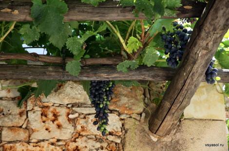 Гроздья столового винограда свешиваются с крыши беседки