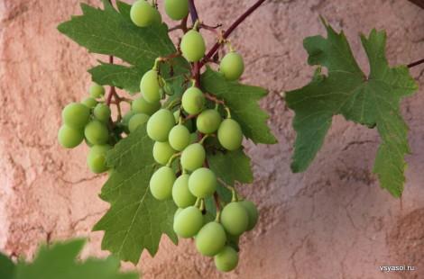 Виноград в Аксосе, Крит