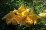 Цветки кабачков и тыквы - с грядки