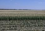 Так растет кукуруза на полях Bonduelle на Кубани