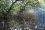 Заросли мангровых на острове Бастиментос, Бокас деь Торо, Панама