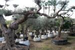 Каждое из этих старинных и не очень оливковых деревьев проается. Майорка
