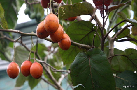 Эти фрукты называют древесными помидорами