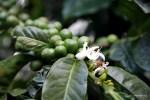 Кофе цветет нежными белыми цветками