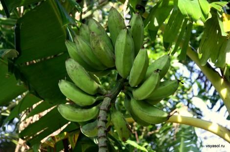 Такой спелости бананы отправляют с плантаций за океан