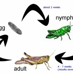 Cricket Life Cycle Diagram Radio Wiring Harness Of A Grasshopper
