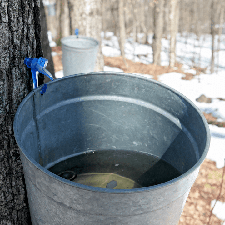 Image of sap bucket on a tree at Bragg Farm Sugarhouse
