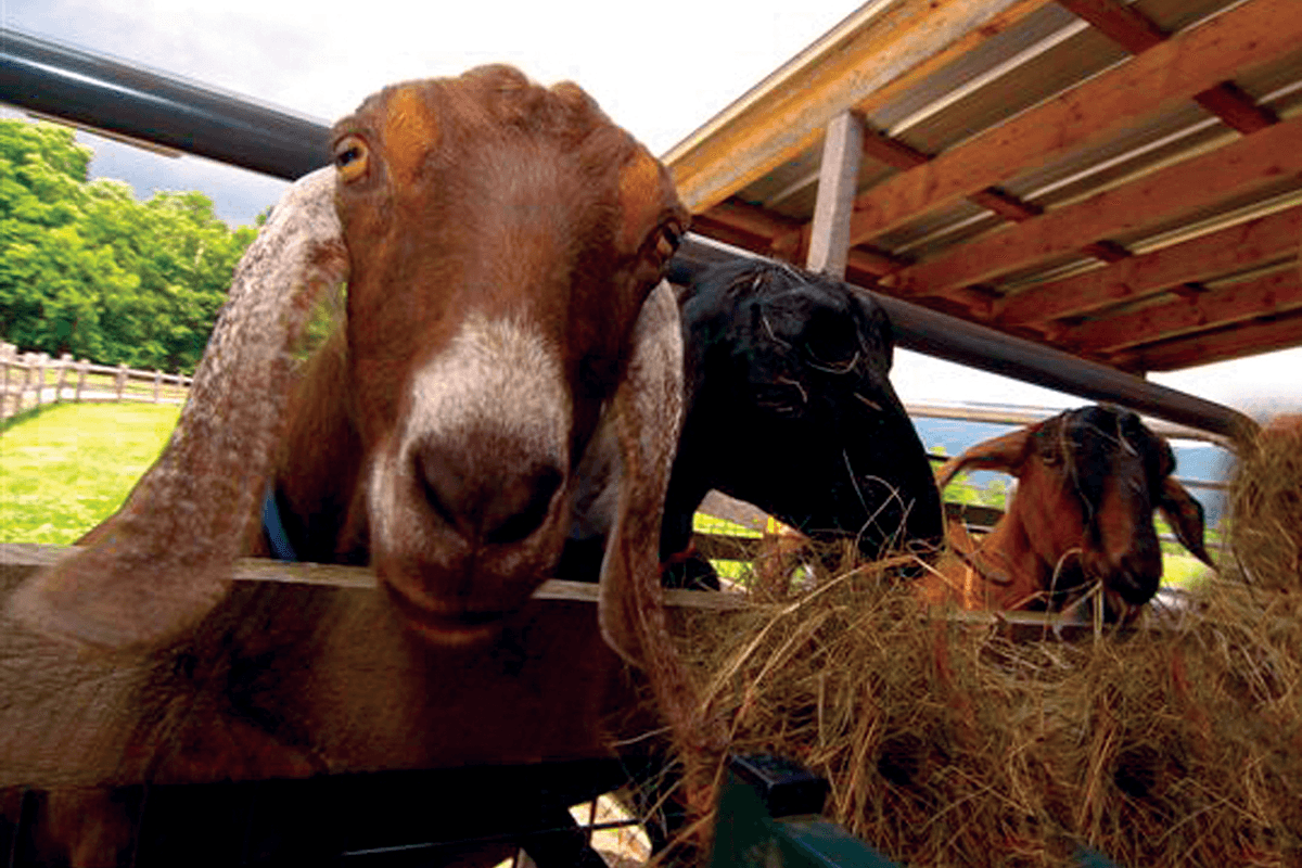 Image of goats at Hildene, The Lincoln Family Home