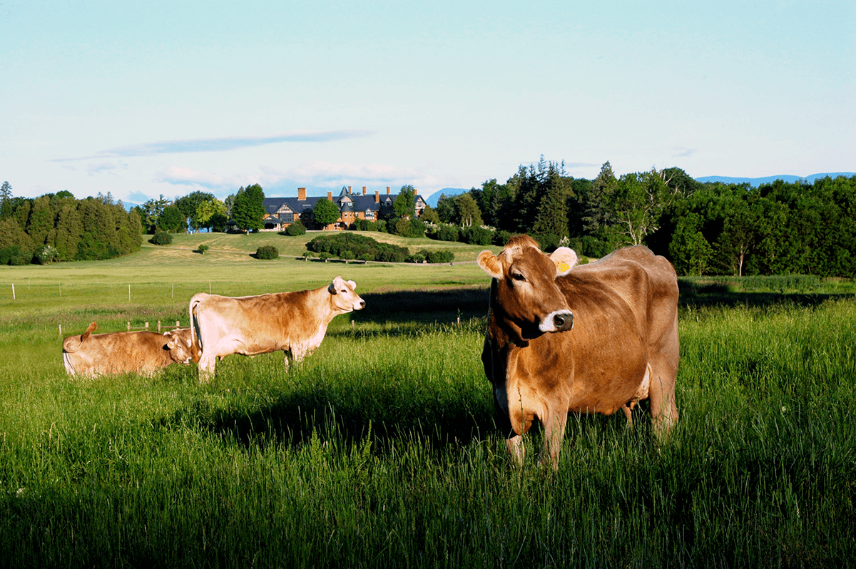 Image of cows and the inn at Shelburne Farms