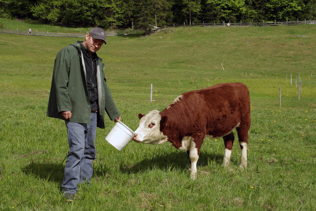 Image of Tom Morse with a cow in the field