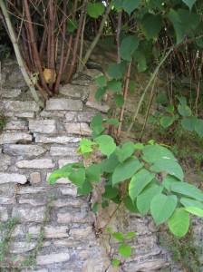 Japanse duizendknoop die door muur is gegroeid.