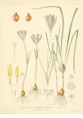 A monograph of the genus Crocus, G. Maw (1886)