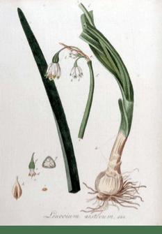Kops et al., J., Flora Batava, vol. 9: t. 644 (1846)
