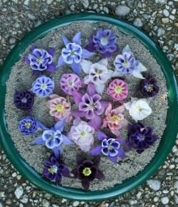 Akelei bloemetjes