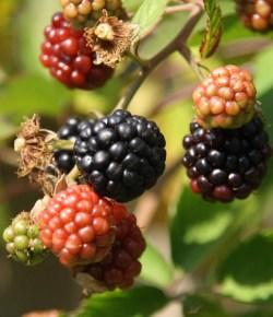 Bramen (Rubus fruticosa)