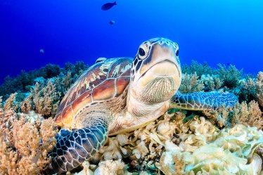 La tortuga verde (Chelonia mydas) en las Islas Gili, Indonesia