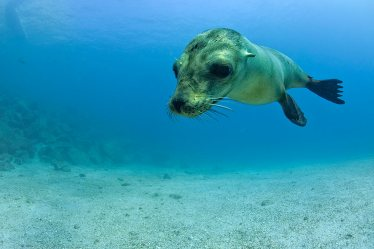 Cachorro león marino .Galápagos