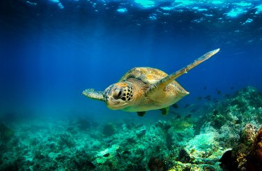 Tortuga verde nadando bajo el agua, Galápagos