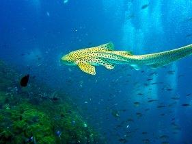 Tiburón Leopardo Phi Phi, Tailandia Foto: ©depositphotos/axel2001
