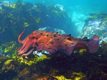 Imagen: Calamar gigante porSylke Rohrlach, (CC BY-SA 2.0)