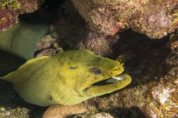 Morena congrio, Islas Bahia, Honduras