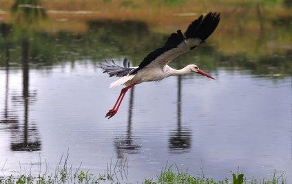 Cigüeña blanca volando Foto: ©depositphotos/StockPhotoAstur