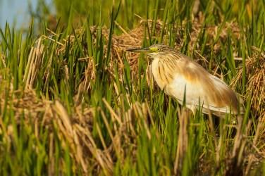 Garcilla cangrejera en el delta del Ebro