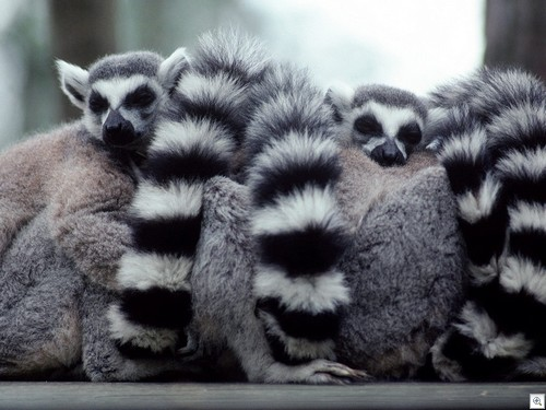 A_Lump_of_Lemurs