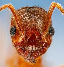 Fire Ant -- Enjoy