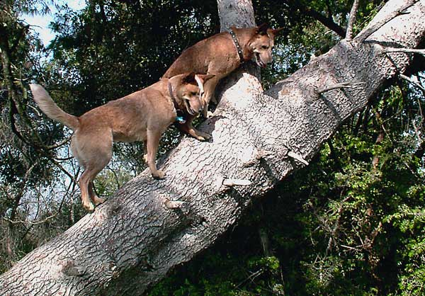 Griffith Park, L.A. -- Dogs Go Up a Tree After Squirrel