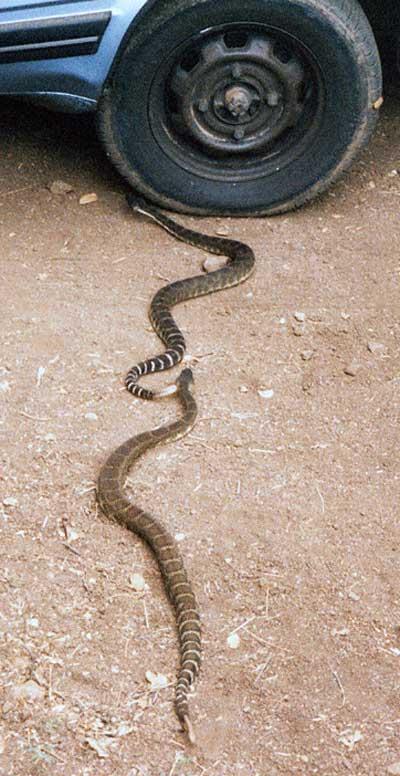 Ed's photos of rattlesnakes under his Suburu