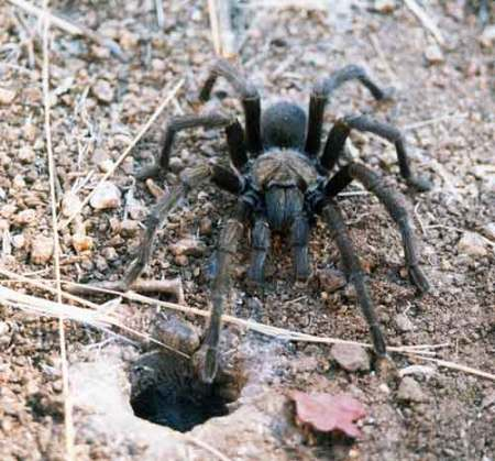 Photo of Tarantula by Ed Ashworth