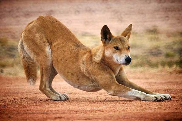 Wild Dingo Stretching