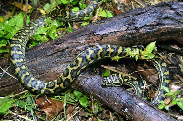 Carpet python, near Brisbane