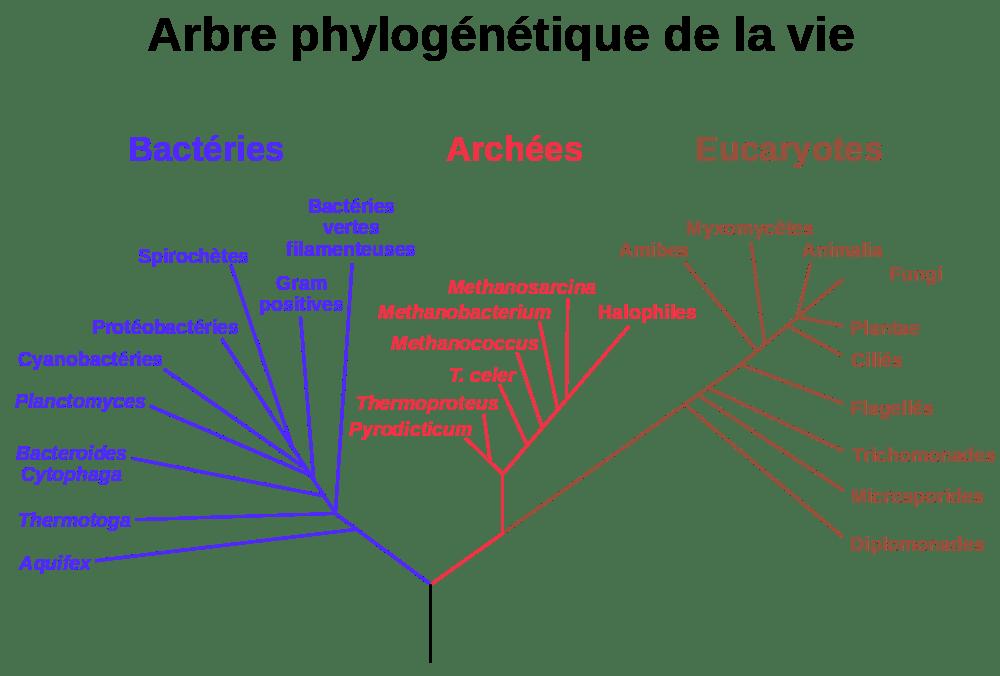 Bactéries, archées et eucaryotes
