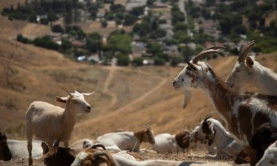 Goat Grazing Mitigates Hazardous Wildfire Fuels In San Bernardino. (courtesy photo)