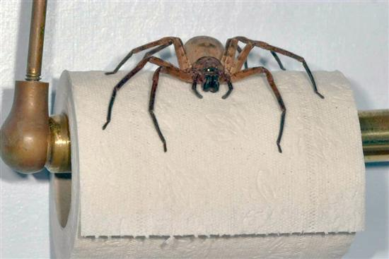 Image result for a picture of the worlds biggest spider