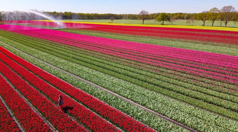 tulpenvelden Drenthe