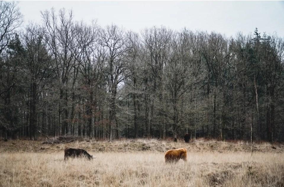 schotse hooglanders Drents-friese wold