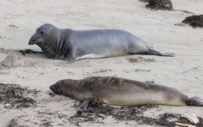 Elephant Seals San Simeon