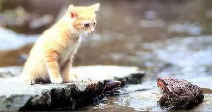 Rare Funny Battle Between Cat And Frog -01