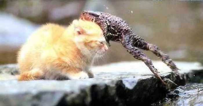 Rare Funny Battle Between Cat And Frog -03