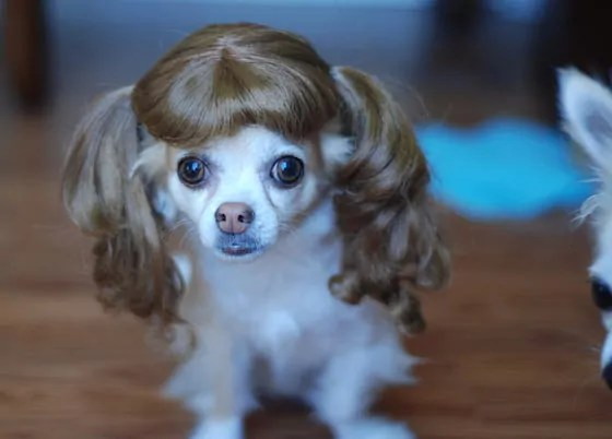 50 Photos of Crazy And Funny Dogs In Wigs That Will Make You LOL -02