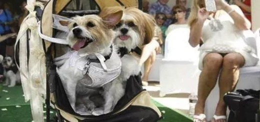 funny-dogs-marriage-01
