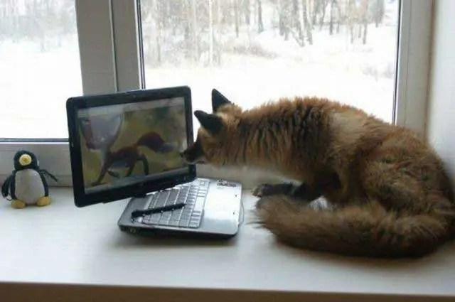 Funny Fox Looking For Partner On Internet