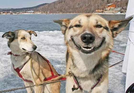 Top 10 Funny Smiling Dogs Of The Day Will Make You LOL -03