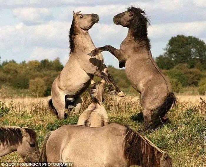 Awesome Funny Horse Fight Pictures -01