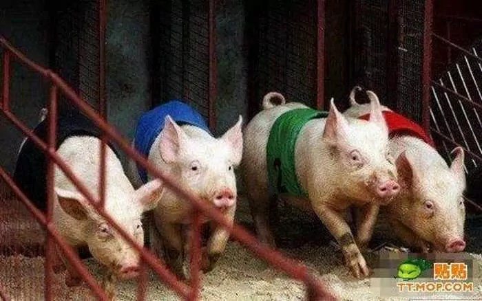 Meanwhile Funny Pig Racing In China - 7 Pics -02